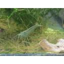 Caridina Japonica Amano shrimp 3-5 cm