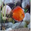 Pez Disco Marlboro Rojo 6.5 cm