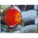 Pez Disco Solid Fire Red 12 cm Stendker