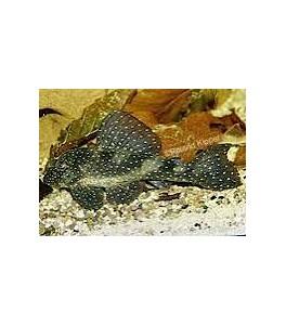 Hypancistrus L004 2.5-3 cm