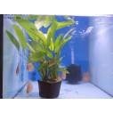 Echinodorus Planta Madre