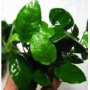 Anubia barteri nana rizoma