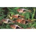 Rasbora heteromorpha (arlequín)