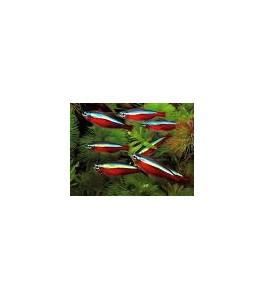 Cardenales 3 - 4 cm