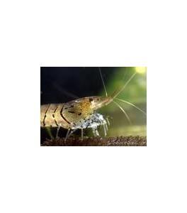 Shrimp Tiger (Gabma Tigre) 3 cm Agotada