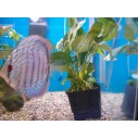 Anubia Planta Madre