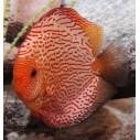 Pez Disco Pigeon Blood Red 6.5 cm Stendker