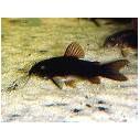 Corydora sp. black Venezuela 2-3 cm